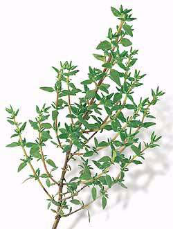 Thyme: a plant to lose weight naturally