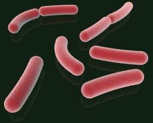 bacteria cause for obesity