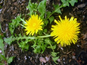 cure of dandelion