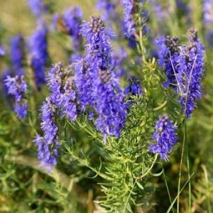 Properties of the Hyssop to lose weight