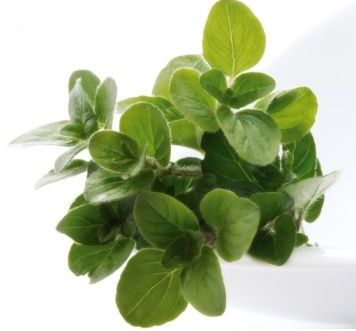 Oregano slimming properties