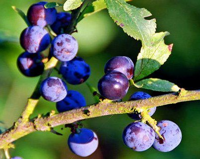 Sloes for weight loss