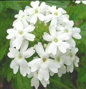 Verbena plant for fluid retention