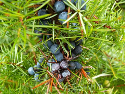 Juniper: a natural diuretic