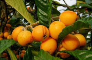 loquats benefits
